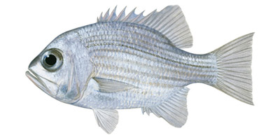 Pearl Perch